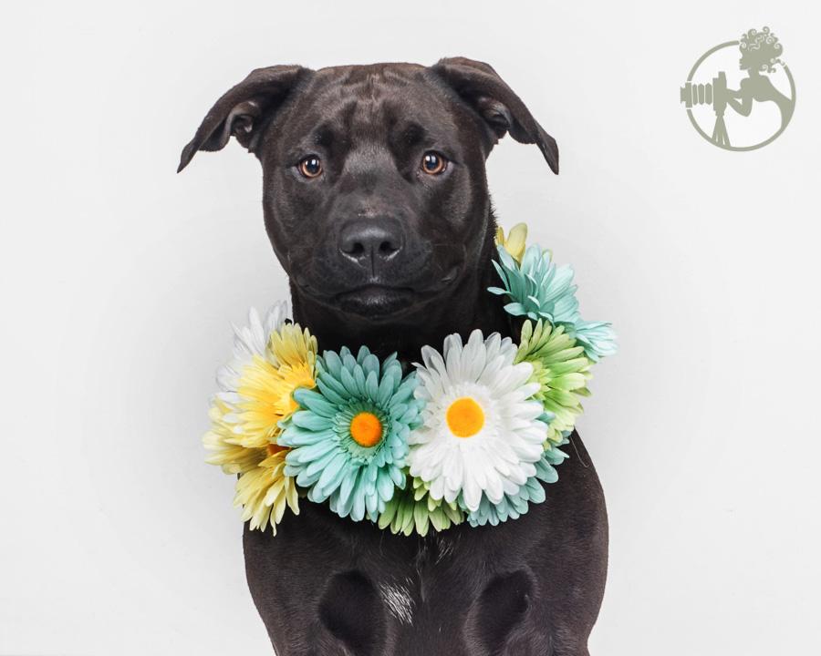 Flower wreath on a sweet Pitbull