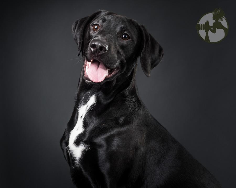Labrador Retriever and Pitbull mix boy loves attention