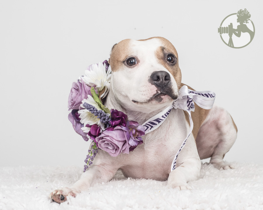 Pitbull girl isn't sure about her flower wreath