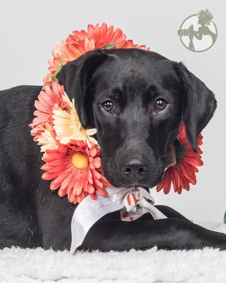 Lab mix dog in his flower wreath