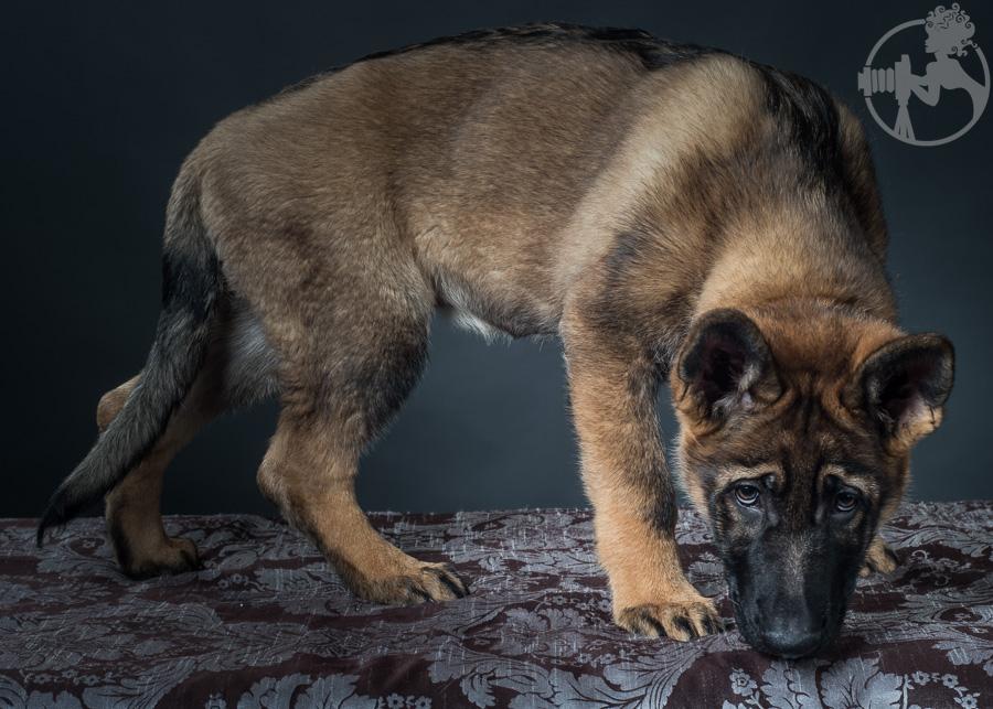 German-Shepherd-Puppy-Dog-Melissa-Laggis-1.jpg