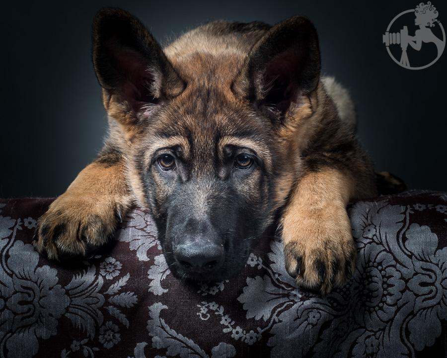 German-Shepherd-Puppy-Dog-Melissa-Laggis-2.jpg