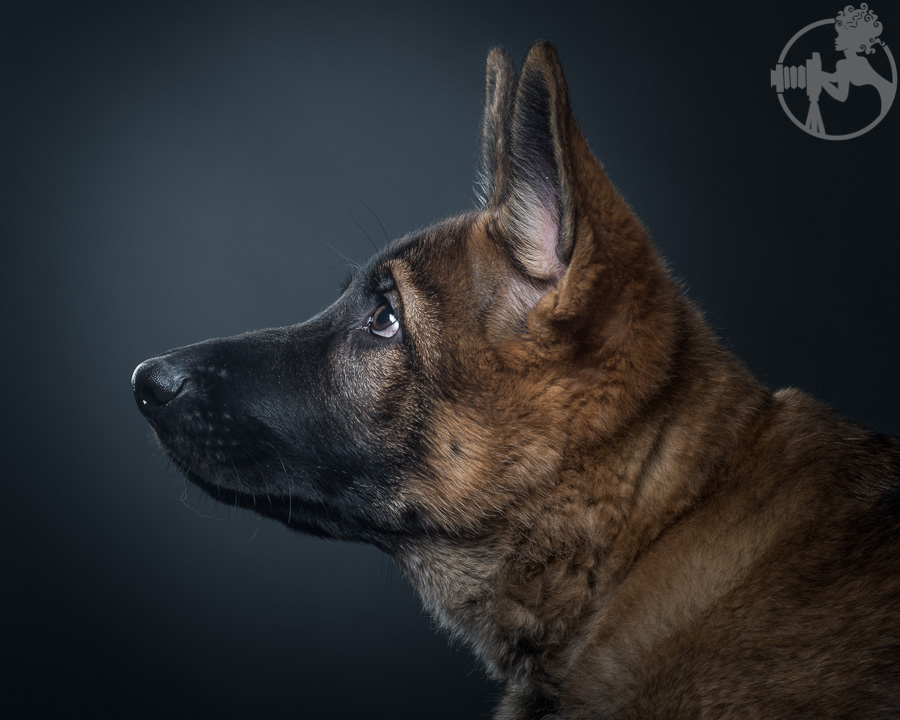 German-Shepherd-Puppy-Dog-Melissa-Laggis-3.jpg