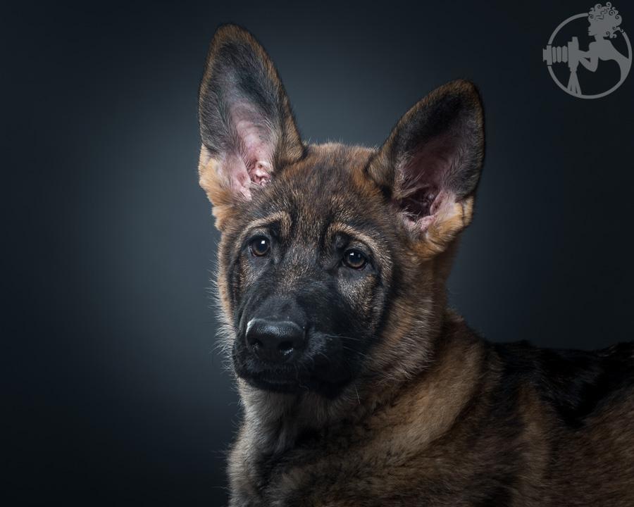 German-Shepherd-Puppy-Dog-Melissa-Laggis-4.jpg