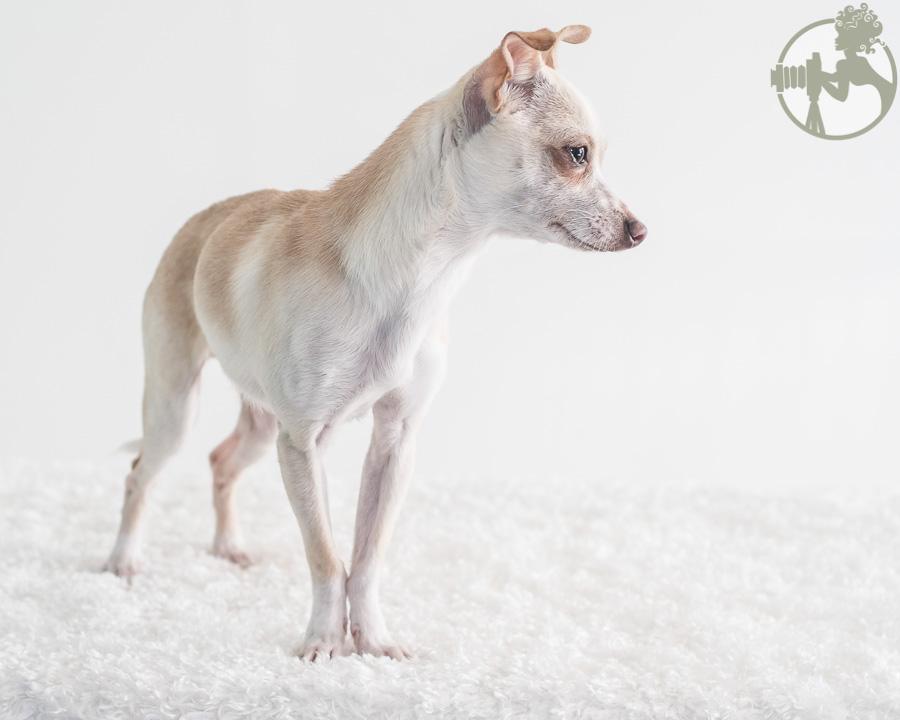 Chihuahua-Dog-Melissa-Laggis-2.jpg