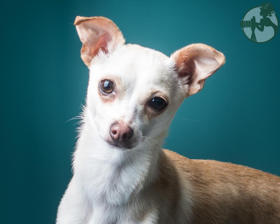 Chihuahua-Dog-Melissa-Laggis-1.jpg