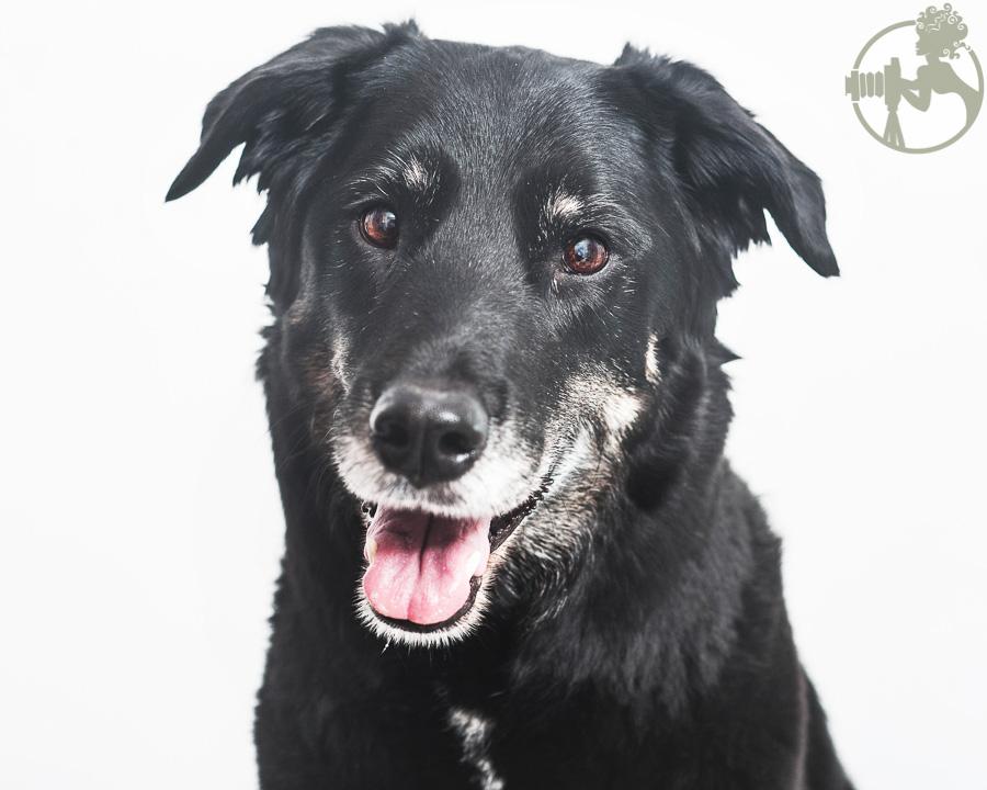 Labrador-Retriever-Senior-Dog-Melissa-Laggis-1.jpg