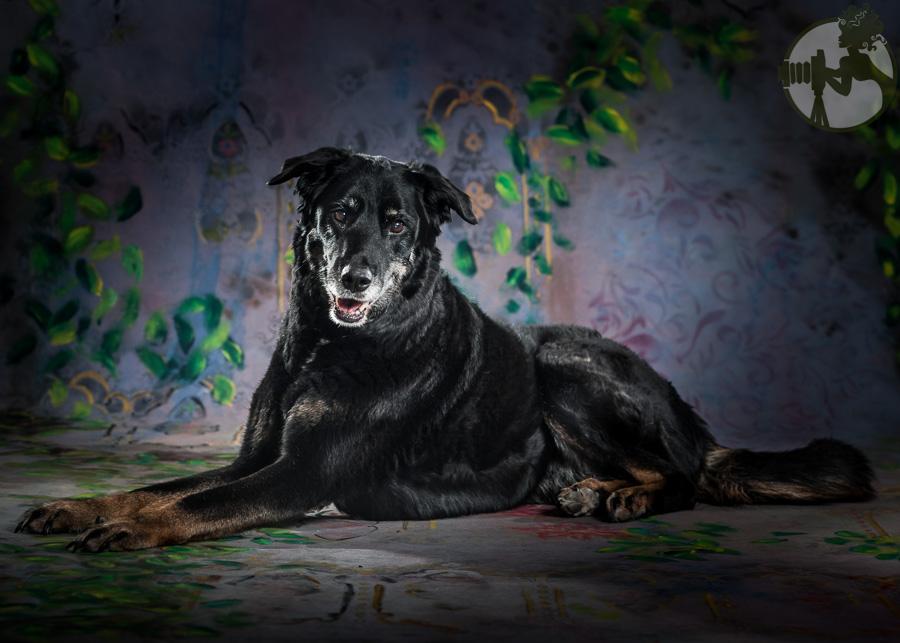 Labrador-Retriever-Senior-Dog-Melissa-Laggis-2.jpg