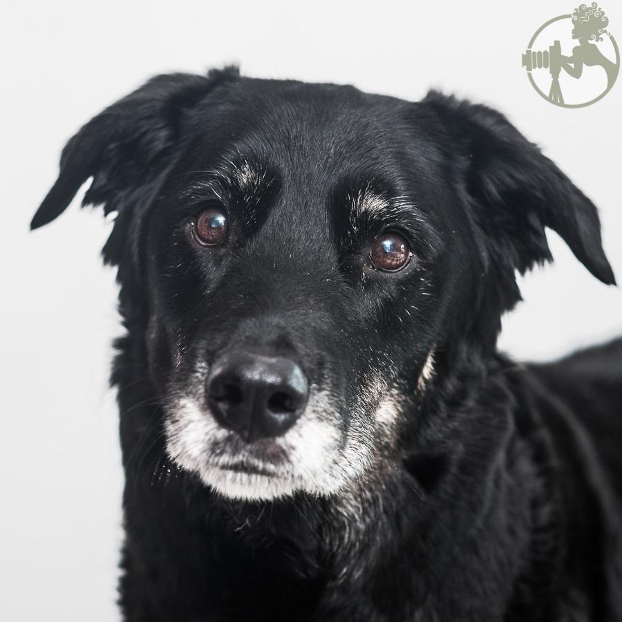 Labrador-Retriever-Senior-Dog-Melissa-Laggis-4.jpg