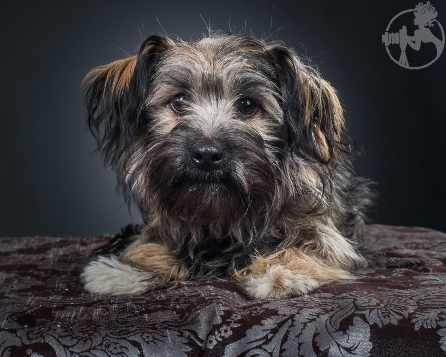 Chewy-Dachshund-Terrier-Mix-Breed-Melissa-Laggis-1.jpg