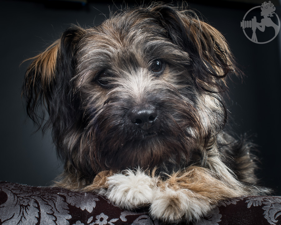 Chewy-Dachshund-Terrier-Mix-Breed-Melissa-Laggis-2.jpg