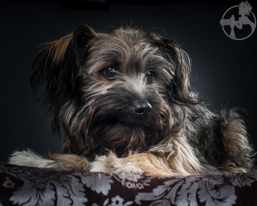 Chewy-Dachshund-Terrier-Mix-Breed-Melissa-Laggis-5.jpg