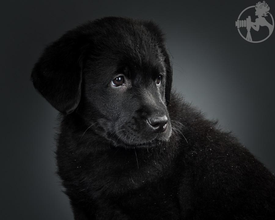 Kimber-Labrador-Retreiver-Melissa-Laggis-1.jpg