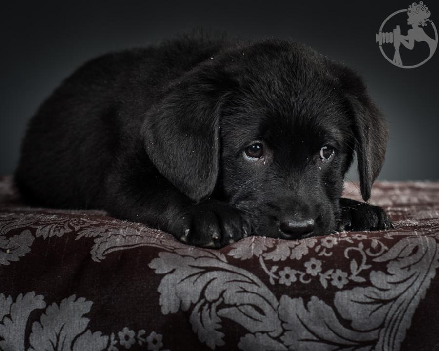 Kimber-Labrador-Retreiver-Melissa-Laggis-4.jpg