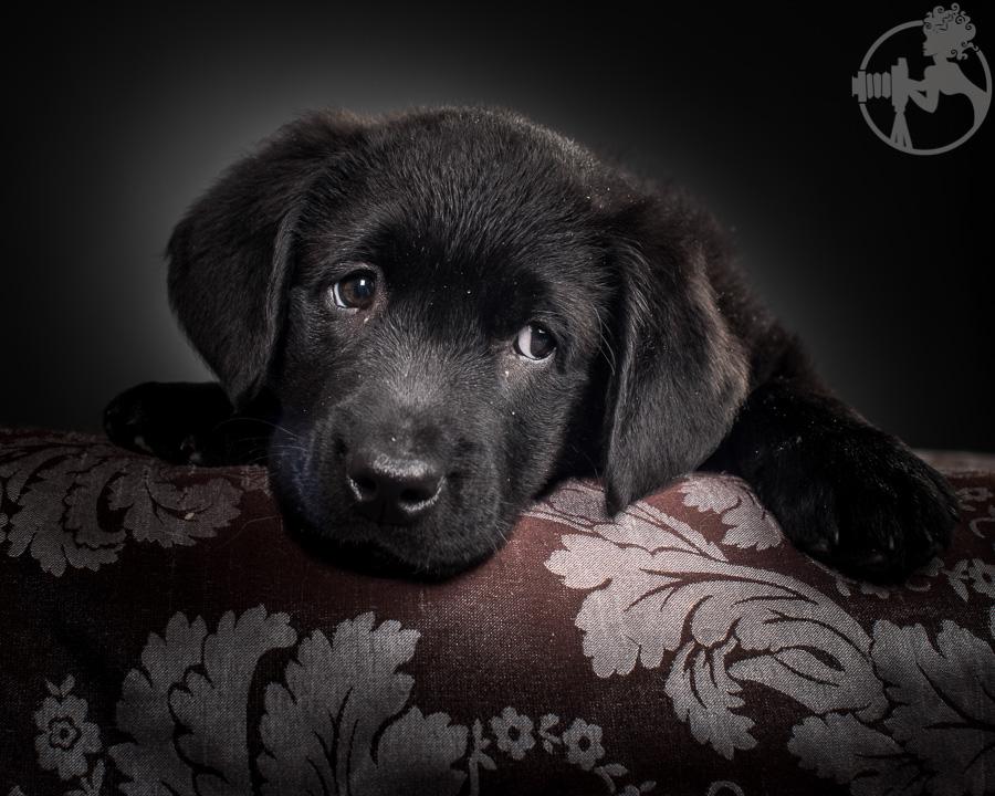 Kimber-Labrador-Retreiver-Melissa-Laggis-5.jpg
