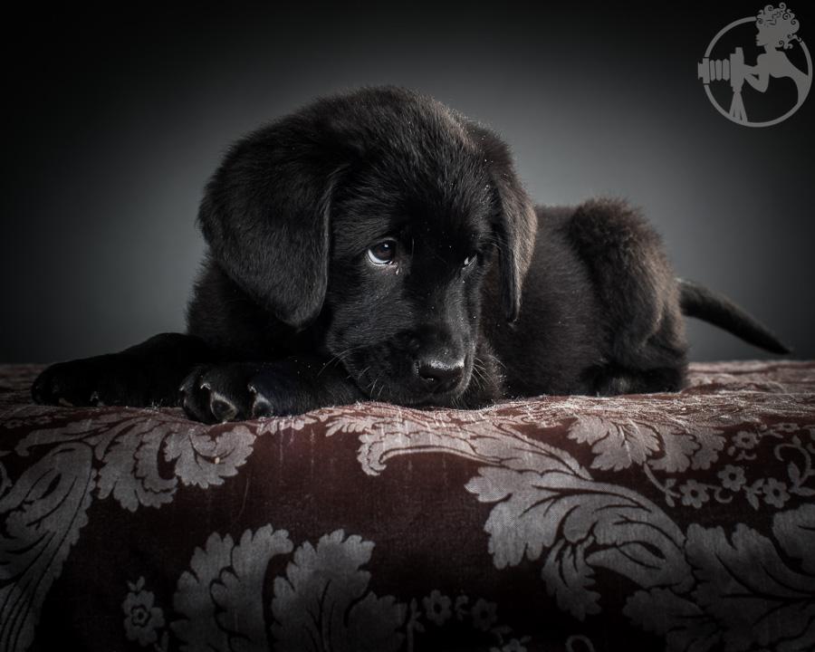 Kimber-Labrador-Retreiver-Melissa-Laggis-6.jpg