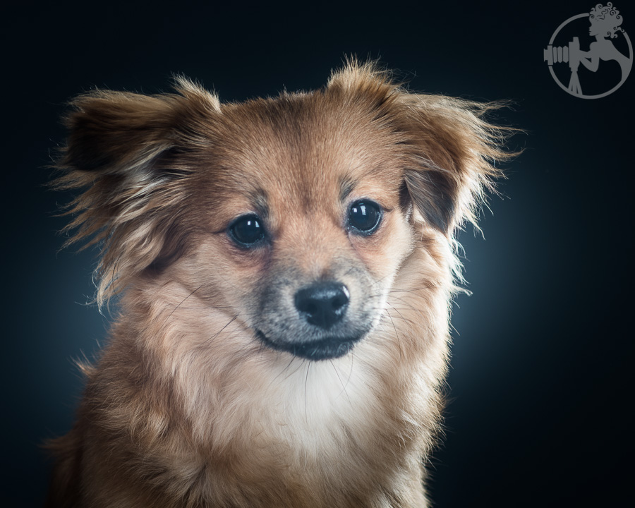 Dachshund-Chihuahua-mix-Melissa-Laggis-3.jpg