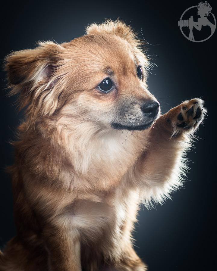 Dachshund-Chihuahua-mix-Melissa-Laggis-4.jpg