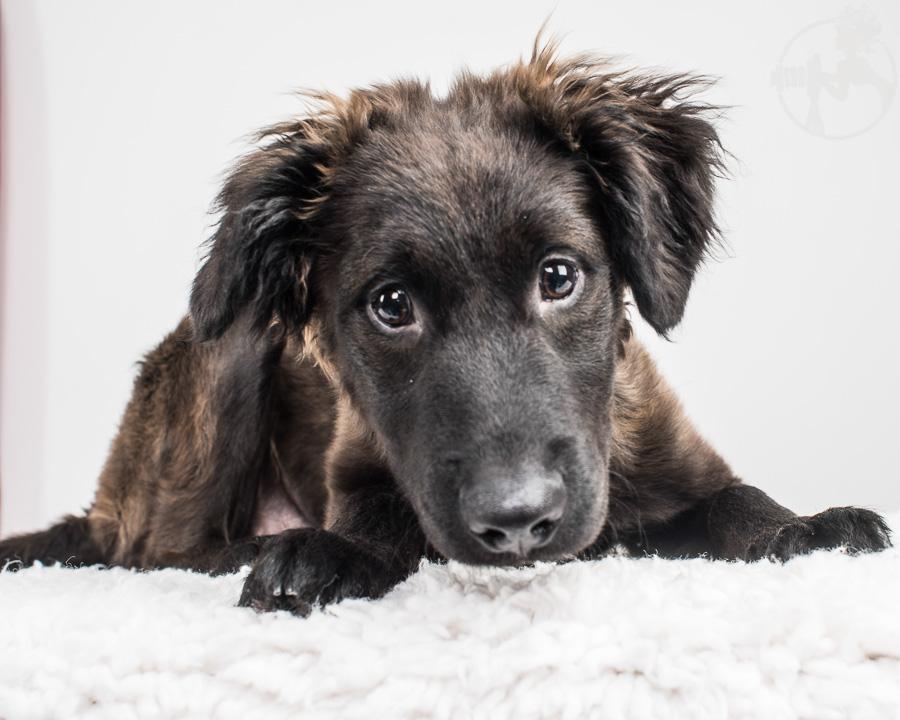 German-Shepherd-Golden-Retriever-Mix-Dog-Melissa-Laggis-1.jpg