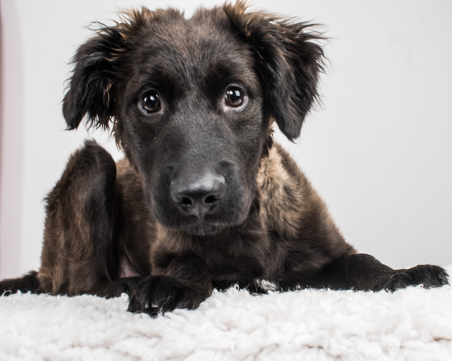 German-Shepherd-Golden-Retriever-Mix-Dog-Melissa-Laggis-2.jpg