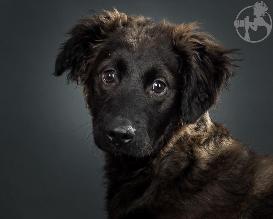 German-Shepherd-Golden-Retriever-Mix-Dog-Melissa-Laggis-3.jpg