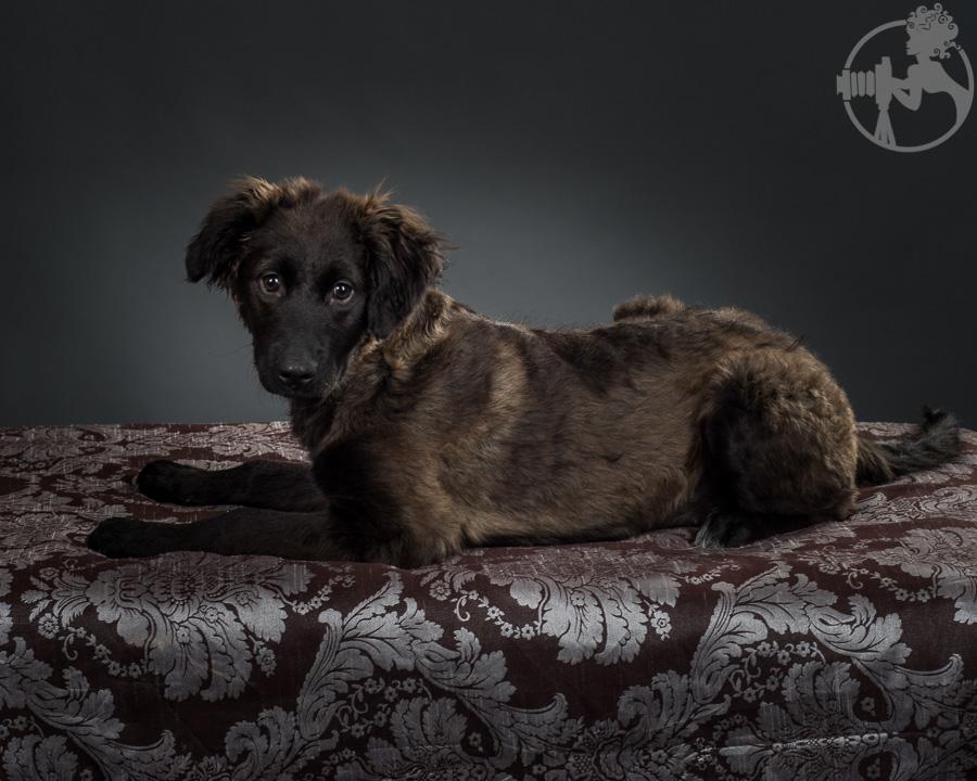 German-Shepherd-Golden-Retriever-Mix-Dog-Melissa-Laggis-4.jpg