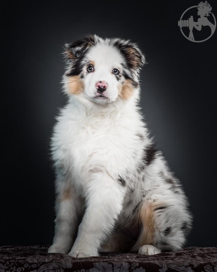 Australian-Shepherd-Dog-Melissa-Laggis-1.jpg
