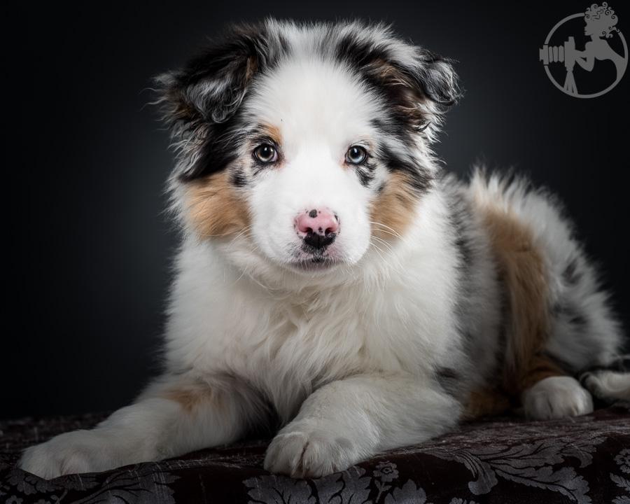 Australian-Shepherd-Dog-Melissa-Laggis-2.jpg