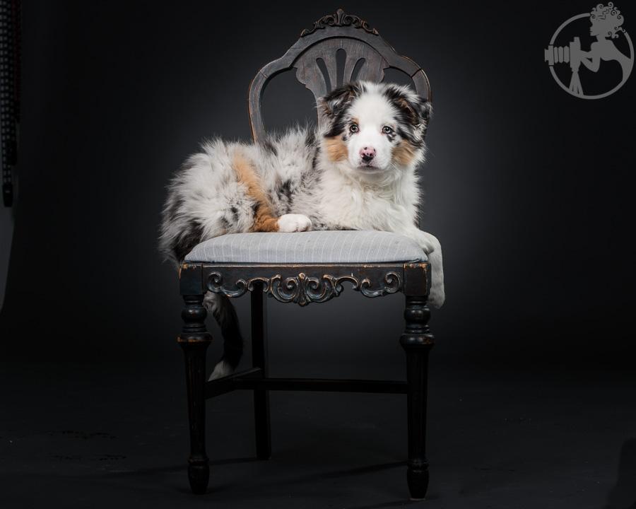 Australian-Shepherd-Dog-Melissa-Laggis-3.jpg