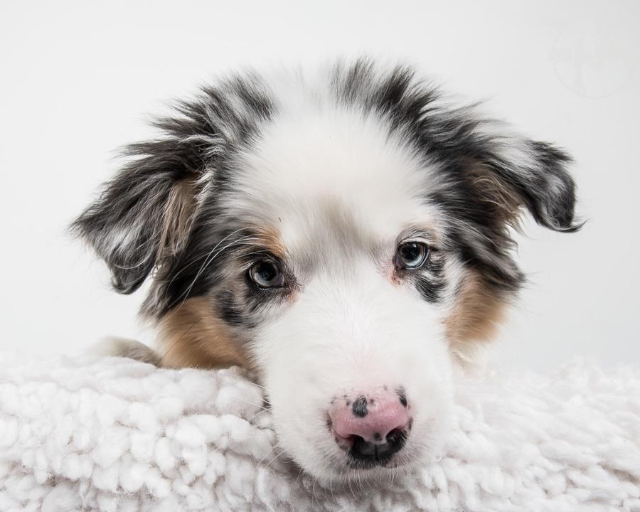 Australian-Shepherd-Dog-Melissa-Laggis-4.jpg