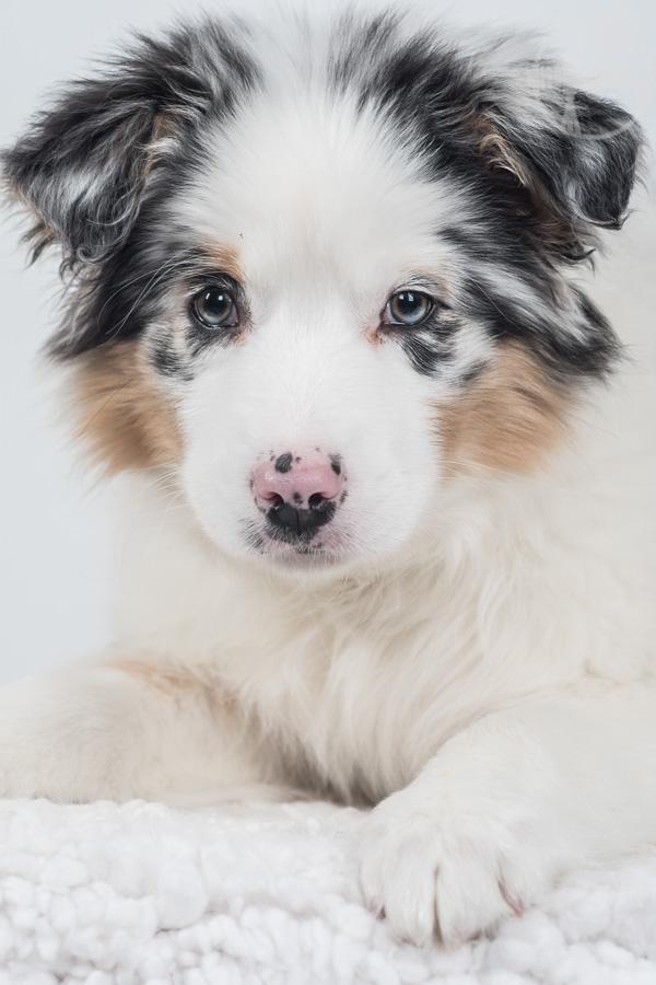Australian-Shepherd-Dog-Melissa-Laggis-5.jpg