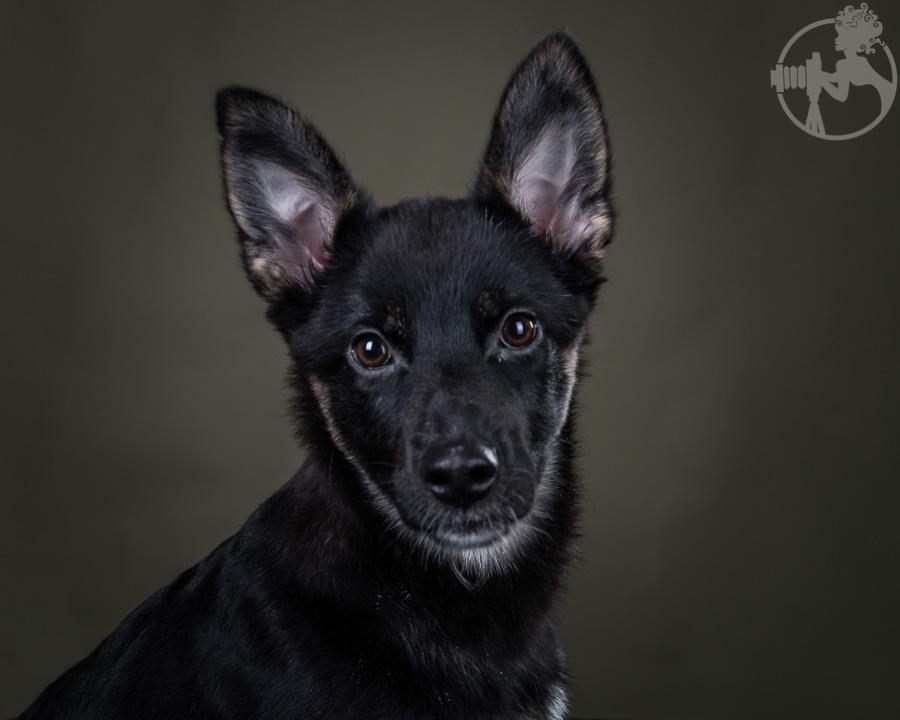 M-German-Shepherd-Dog-Melissa-Laggis-1.jpg