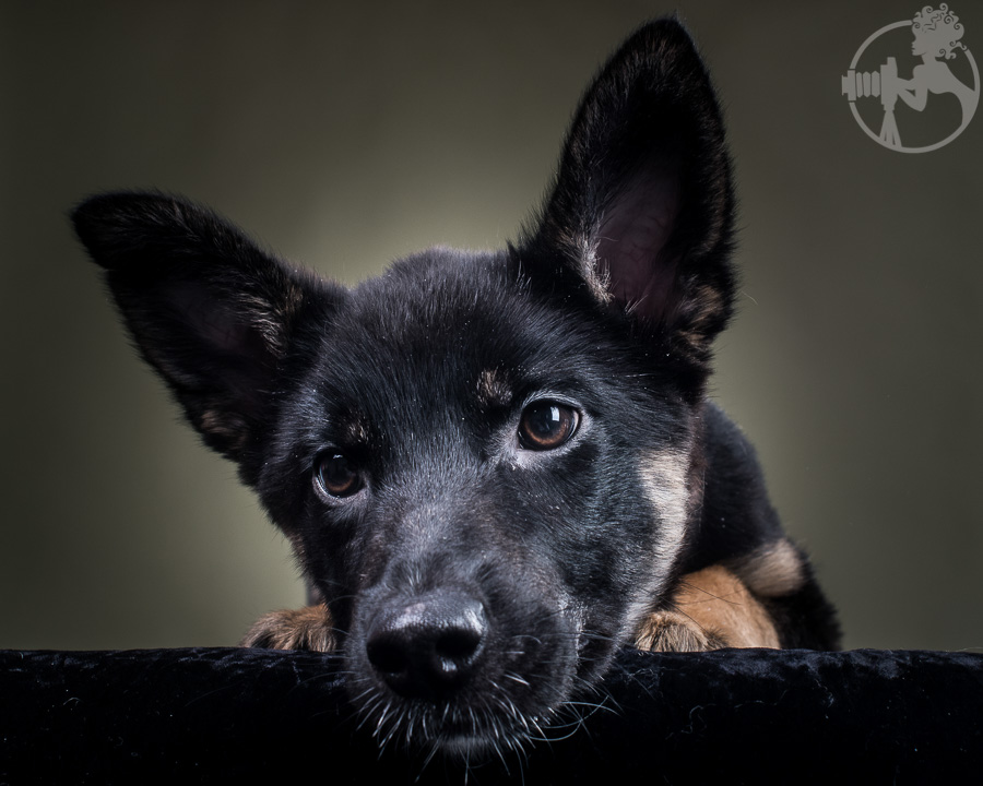 M-German-Shepherd-Dog-Melissa-Laggis-3.jpg