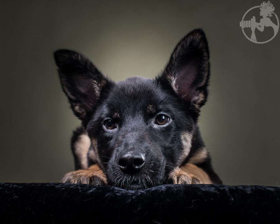M-German-Shepherd-Dog-Melissa-Laggis-4.jpg