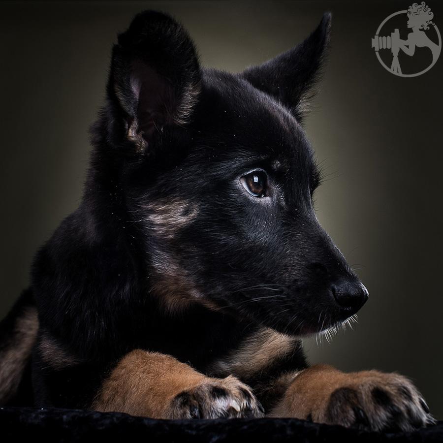 M-German-Shepherd-Dog-Melissa-Laggis-5.jpg