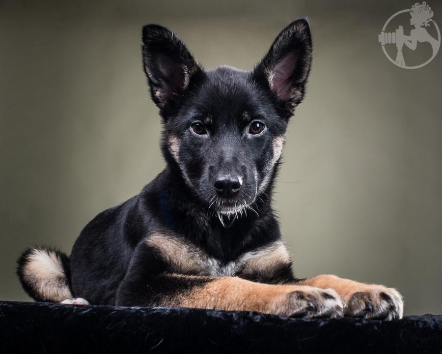 M-German-Shepherd-Dog-Melissa-Laggis-6.jpg