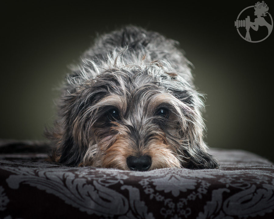 Wirehaired-Dachshund-Dog-Melissa-Laggis-2.jpg