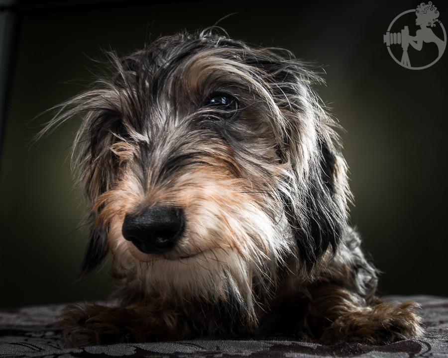Wirehaired-Dachshund-Dog-Melissa-Laggis-3.jpg