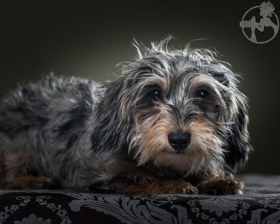 Wirehaired-Dachshund-Dog-Melissa-Laggis-4.jpg