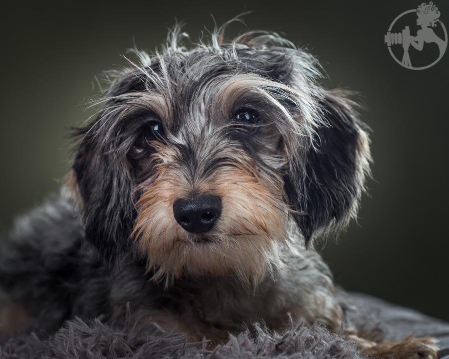 Wirehaired-Dachshund-Dog-Melissa-Laggis-5.jpg
