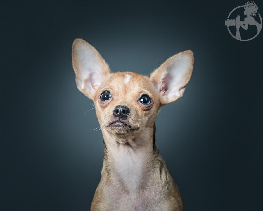 T-Chihuahua-Dog-Melissa-Laggis-2.jpg