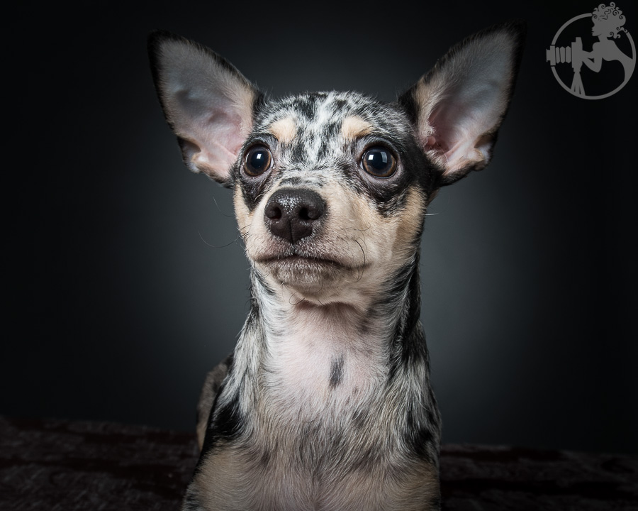 T-Chihuahua-Dog-Melissa-Laggis-1.jpg
