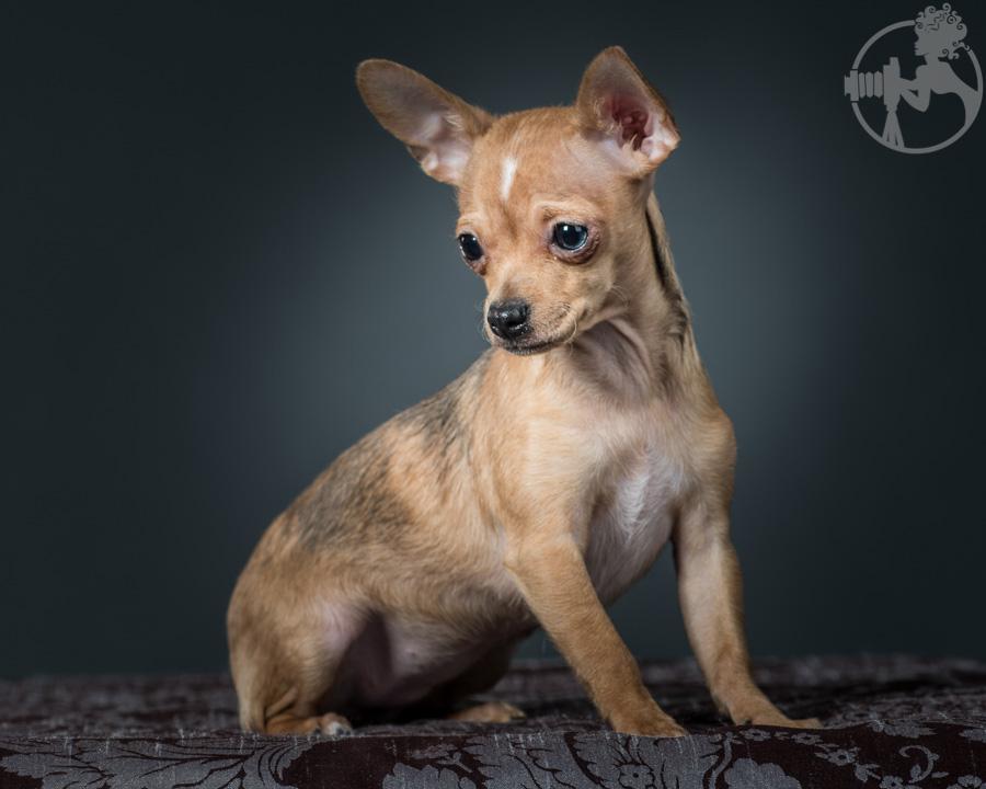 T-Chihuahua-Dog-Melissa-Laggis-4.jpg