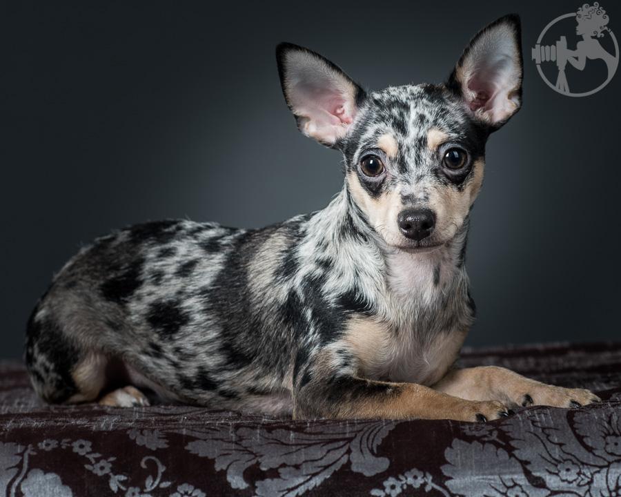 T-Chihuahua-Dog-Melissa-Laggis-3.jpg