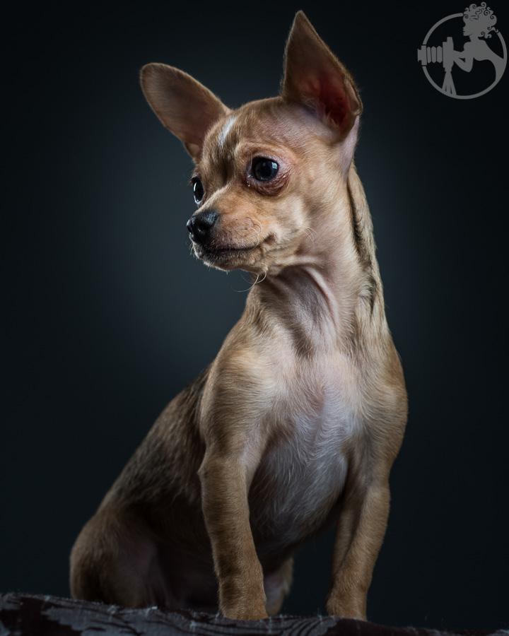 T-Chihuahua-Dog-Melissa-Laggis-5.jpg