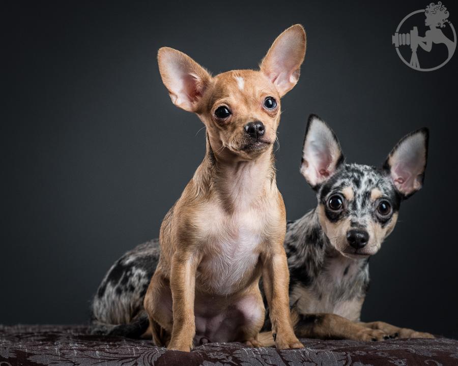 T-Chihuahua-Dog-Melissa-Laggis-6.jpg