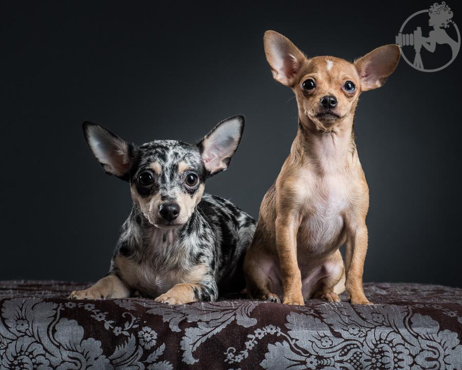 T-Chihuahua-Dog-Melissa-Laggis-7.jpg