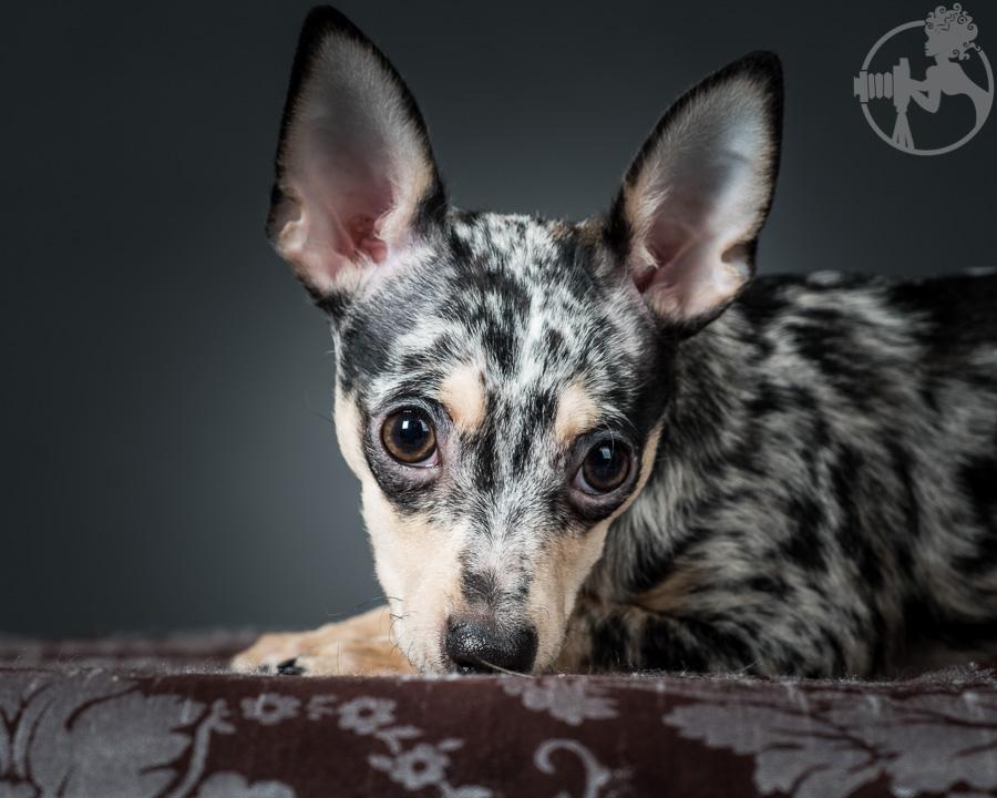 T-Chihuahua-Dog-Melissa-Laggis-8.jpg