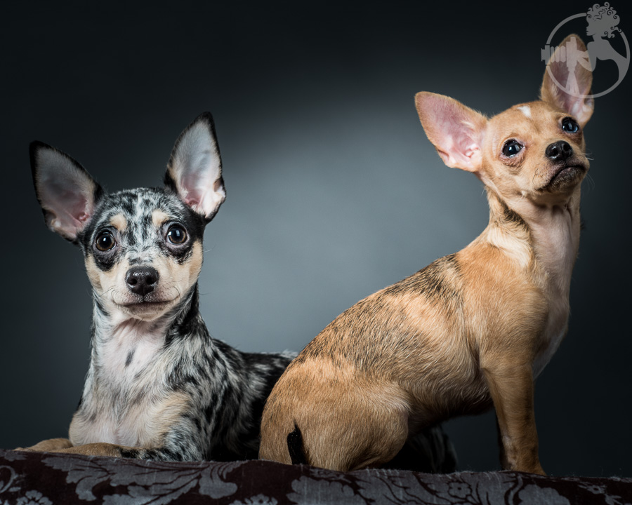 T-Chihuahua-Dog-Melissa-Laggis-9.jpg