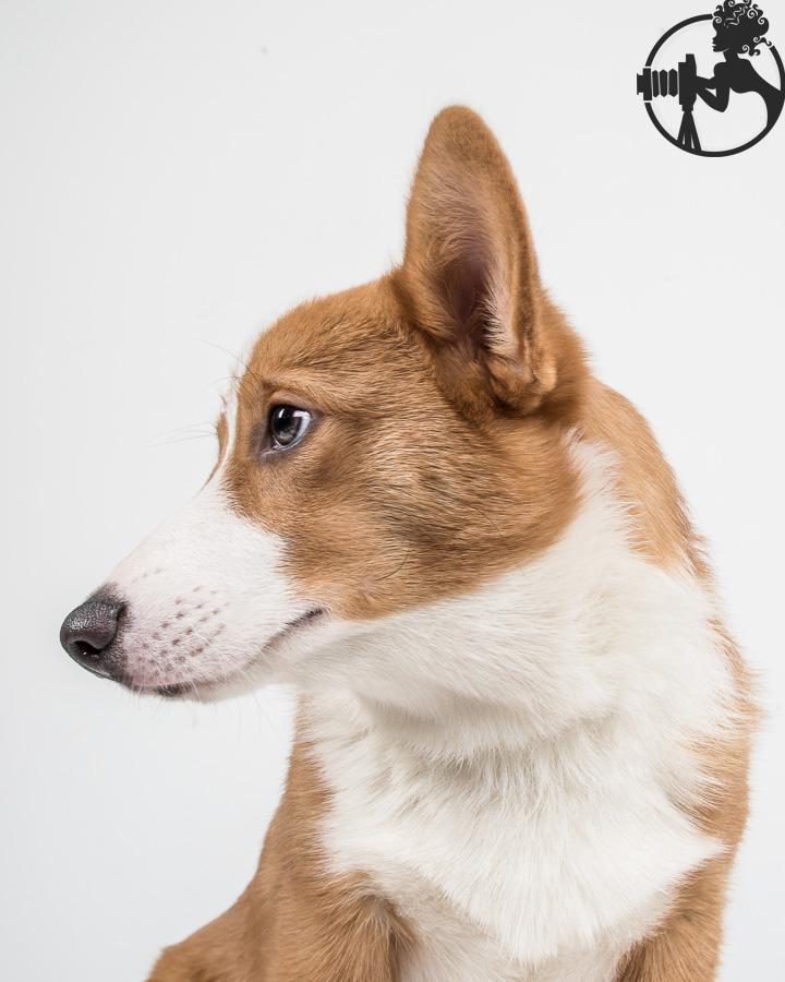G-Pembroke-Welsh-Corgi-Dog-Melissa-Laggis-2.jpg